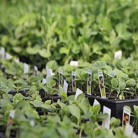 """Seedlings - 4 1/2"""""""