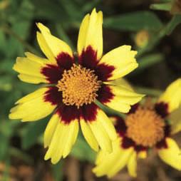Perennials - Gallon