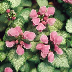 Perennials - Quart