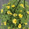 Yellow Calibrachoa Hanging Basket